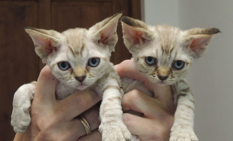 Chat 9 Devon Rex France